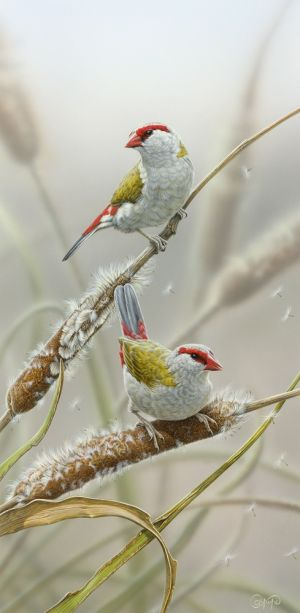 Red-Browed Firetail Finches