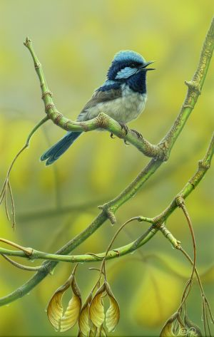 Superb Fairy-wren (Whistling the Blues)