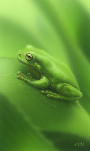 Green Tree Frog 3