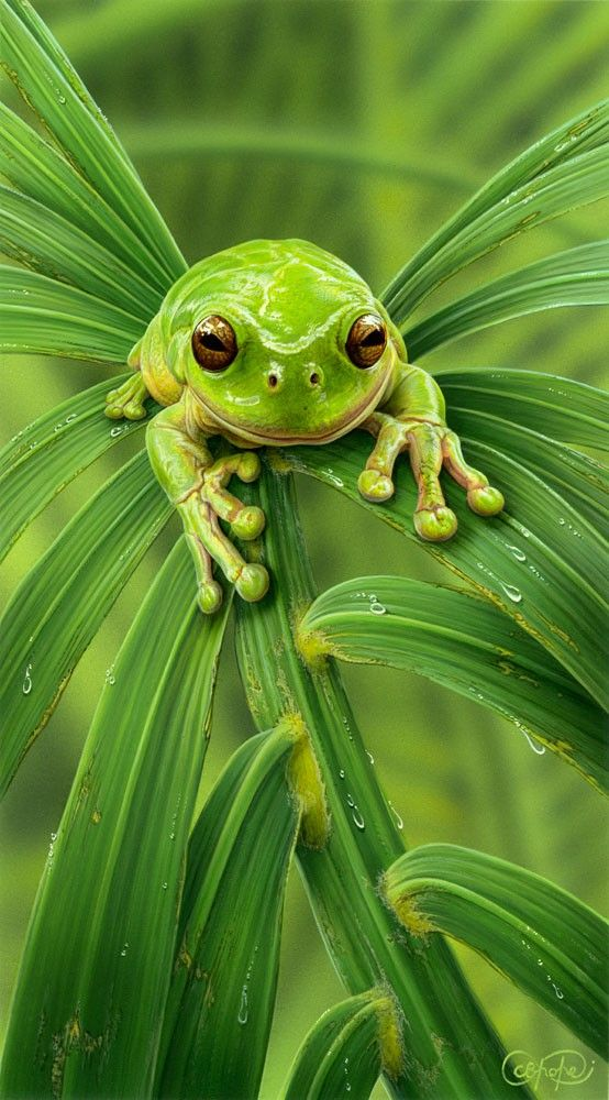 CPOP_013_green_tree_frog.jpg
